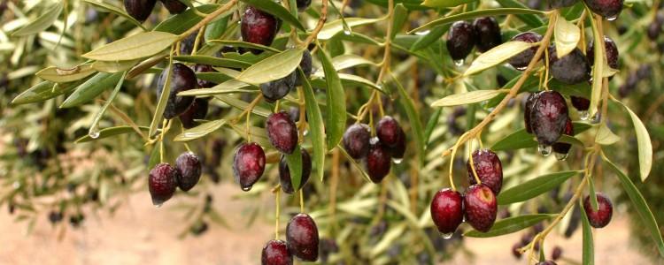 ¿Dónde van los Aceites de Oliva Vírgenes -100 % Zumos Naturales de Aceituna-?