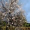 Almendro en flor en la Vía Verde del Aceite
