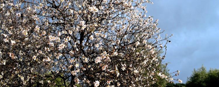 En la Via Verde del Aceite los almendros ya están en flor