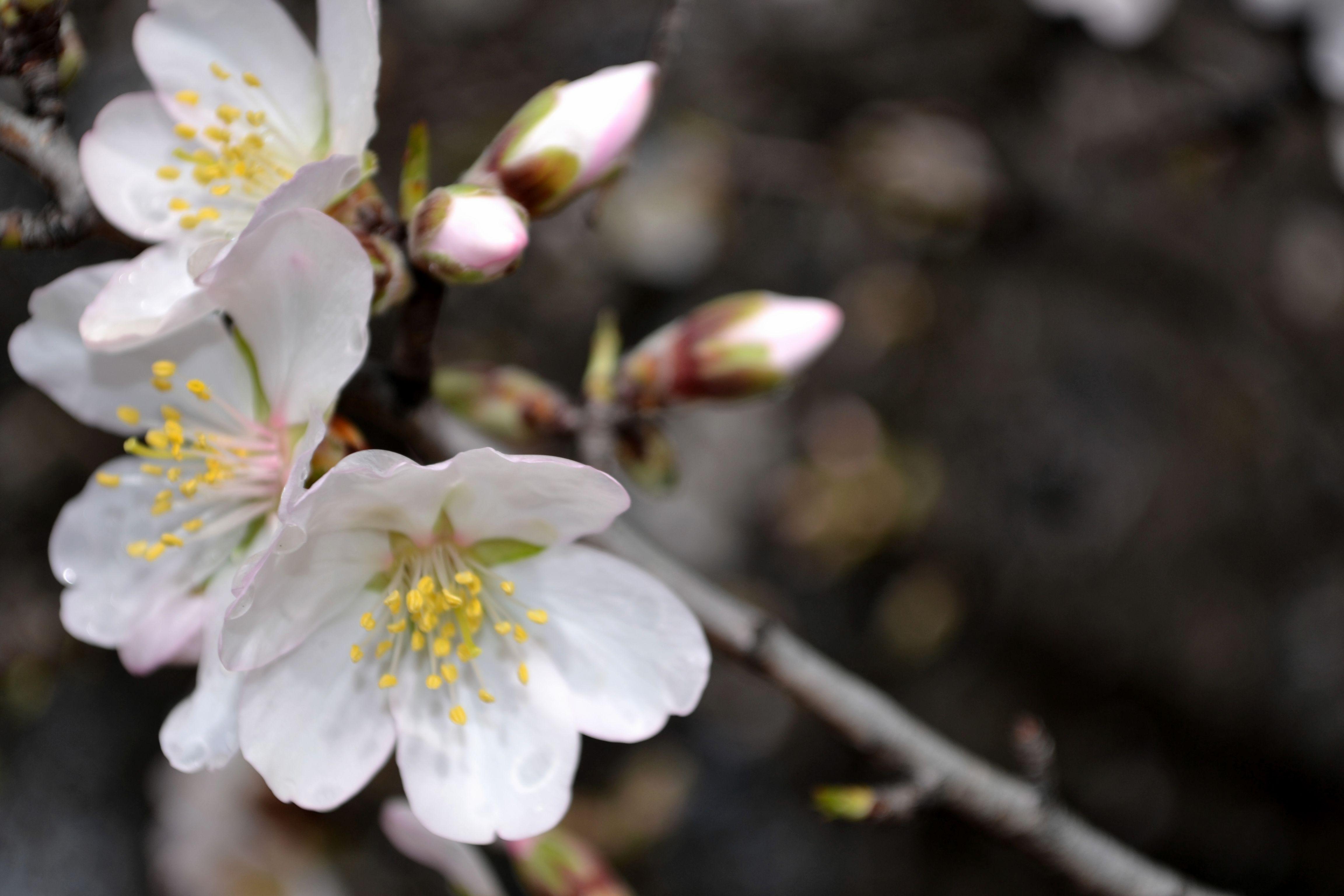 Detalle Flor de almendro