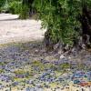 aceituna caídas debajo el olivo