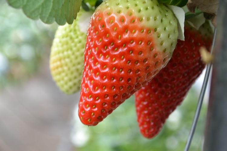 Detalle de fresas en el invernadero de EL GRUPO S.C.A.,