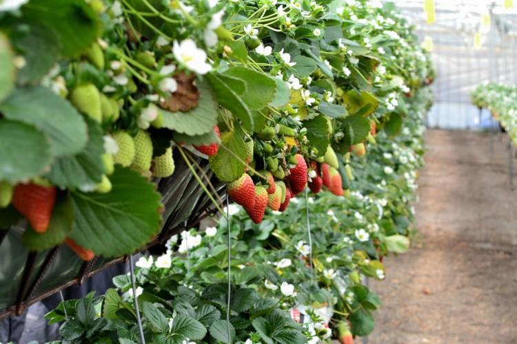 Detalle del invernadero de fresas de EL GRUPO S.C.A.,