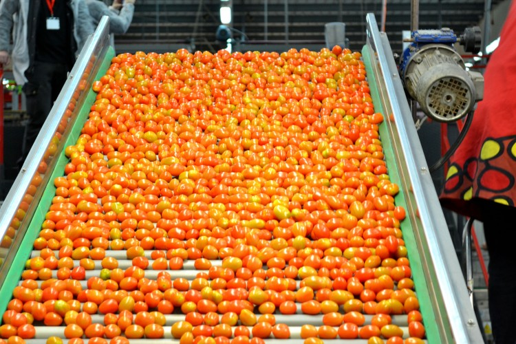 Detalle del procesado tomate cherry en las instalaciones de La Palma S.C.A.