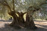 Olivos centenarios